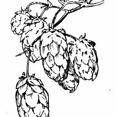 Fruits: Humulus lupulus. ~ By Gordon Morrison. ~ Copyright © 2019 New England Wild Flower Society. ~ Image Request, images[at]newenglandwild.org