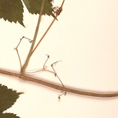 Stems: Humulus lupulus. ~ By University of Alaska Museum. ~ Copyright © 2019 CC BY-SA 2.0. ~  ~ Morphbank - Biological Imaging - www.morphbank.net