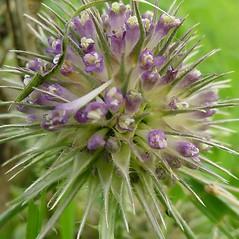 Flowers: Dipsacus fullonum. ~ By Glen Mittelhauser. ~ Copyright © 2019 Glen Mittelhauser. ~ www.mainenaturalhistory.org