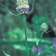 Flowers: Dipsacus fullonum. ~ By John Lynch. ~ Copyright © 2019 New England Wild Flower Society. ~ Image Request, images[at]newenglandwild.org