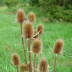 Fruits: Dipsacus laciniatus. ~ By Arthur Haines. ~ Copyright © 2019. ~ arthurhaines[at]wildblue.net