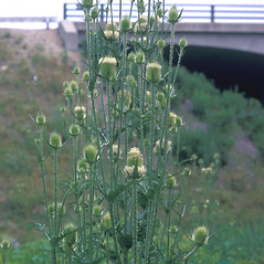 Plant form: Dipsacus laciniatus. ~ By Frank Bramley. ~ Copyright © 2019 New England Wild Flower Society. ~ Image Request, images[at]newenglandwild.org
