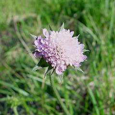 Flowers: Knautia arvensis. ~ By Arthur Haines. ~ Copyright © 2018. ~ arthurhaines[at]wildblue.net