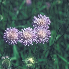 Flowers: Knautia arvensis. ~ By Lucien Taylor. ~ Copyright © 2019 New England Wild Flower Society. ~ Image Request, images[at]newenglandwild.org