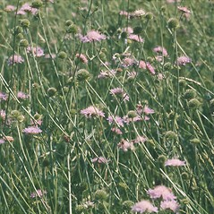 Plant form: Knautia arvensis. ~ By Albert Bussewitz. ~ Copyright © 2018 New England Wild Flower Society. ~ Image Request, images[at]newenglandwild.org
