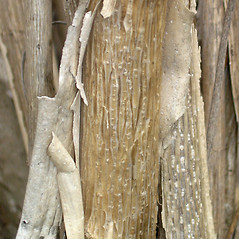 Bark: Kolkwitzia amabilis. ~ By Bruce Patterson. ~ Copyright © 2020 Bruce Patterson. ~ foxpatterson[at]comcast.net