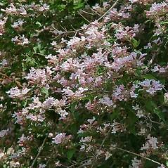 Plant form: Kolkwitzia amabilis. ~ By Paul S. Drobot. ~ Copyright © 2019 Paul S. Drobot. ~ www.plantstogrow.com, www.plantstockphotos.com ~ Robert W. Freckmann Herbarium, U. of Wisconsin-Stevens Point