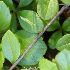 Bark: Linnaea borealis. ~ By Jill Weber. ~ Copyright © 2018 Jill Weber. ~ jillweber03[at]gmail.com