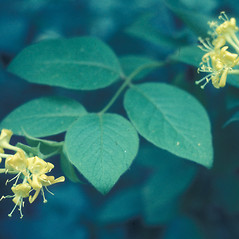 Leaves: Lonicera hirsuta. ~ By Lawrence Newcomb. ~ Copyright © 2020 New England Wild Flower Society. ~ Image Request, images[at]newenglandwild.org