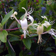 Flowers: Lonicera japonica. ~ By Arthur Haines. ~ Copyright © 2019. ~ arthurhaines[at]wildblue.net