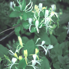 Flowers: Lonicera japonica. ~ By John Lynch. ~ Copyright © 2019 New England Wild Flower Society. ~ Image Request, images[at]newenglandwild.org