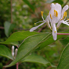 Flowers: Lonicera maackii. ~ By David G. Smith. ~ Copyright © 2017. ~ dgsmith3[at]gmail.com ~ Delaware Wildflowers - delawarewildflowers.org/
