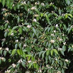 Plant form: Lonicera maackii. ~ By Steven Baskauf. ~ Copyright © 2018 CC-BY-NC-SA. ~  ~ Bioimages - www.cas.vanderbilt.edu/bioimages/frame.htm