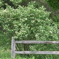 Plant form: Lonicera morrowii. ~ By Arieh Tal. ~ Copyright © 2017 Arieh Tal. ~ http://botphoto.com/ ~ Arieh Tal - botphoto.com