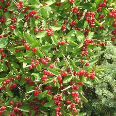 Plant form: Lonicera morrowii. ~ By Glen Mittelhauser. ~ Copyright © 2017 Glen Mittelhauser. ~ www.mainenaturalhistory.org