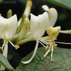 Flowers: Lonicera periclymenum. ~ By John Crellin. ~ Copyright © 2019 © J.R. Crellin. ~ Floralimages www.floralimages.co.uk ~ Floral Images - www.floralimages.co.uk
