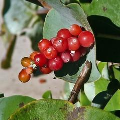 Fruits: Lonicera reticulata. ~ By Paul S. Drobot. ~ Copyright © 2018 Paul S. Drobot. ~ www.plantstogrow.com, www.plantstockphotos.com ~ Robert W. Freckmann Herbarium, U. of Wisconsin-Stevens Point