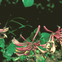 Flowers: Lonicera sempervirens. ~ By Frank Bramley. ~ Copyright © 2018 New England Wild Flower Society. ~ Image Request, images[at]newenglandwild.org
