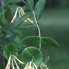 Leaves: Lonicera sempervirens. ~ By Arieh Tal. ~ Copyright © 2020 Arieh Tal. ~ http://botphoto.com/ ~ Arieh Tal - botphoto.com
