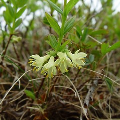 Flowers: Lonicera villosa. ~ By Arthur Haines. ~ Copyright © 2020. ~ arthurhaines[at]wildblue.net