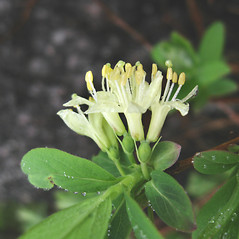 Flowers: Lonicera villosa. ~ By Donna Kausen. ~ Copyright © 2020 Donna Kausen. ~ 33 Bears Den, Addison, ME 04606