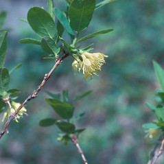 Flowers: Lonicera villosa. ~ By Lawrence Newcomb. ~ Copyright © 2020 New England Wild Flower Society. ~ Image Request, images[at]newenglandwild.org