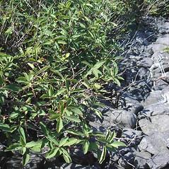 Plant form: Lonicera villosa. ~ By Jill Weber. ~ Copyright © 2018 Jill Weber. ~ jillweber03[at]gmail.com