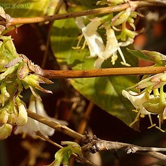 Bark: Lonicera xylosteum. ~ By John Crellin. ~ Copyright © 2020 © J.R. Crellin. ~ Floralimages www.floralimages.co.uk ~ Floral Images - www.floralimages.co.uk