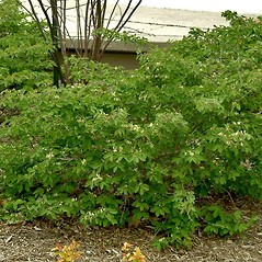 Plant form: Lonicera xylosteum. ~ By Paul S. Drobot. ~ Copyright © 2017 Paul S. Drobot. ~ www.plantstogrow.com, www.plantstockphotos.com ~ Robert W. Freckmann Herbarium, U. of Wisconsin-Stevens Point