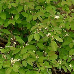 Leaves: Lonicera xylosteum. ~ By Paul S. Drobot. ~ Copyright © 2017 Paul S. Drobot. ~ www.plantstogrow.com, www.plantstockphotos.com ~ Robert W. Freckmann Herbarium, U. of Wisconsin-Stevens Point