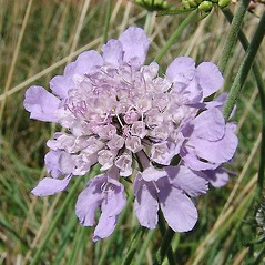 Flowers: Scabiosa columbaria. ~ By Paul Busselen . ~ Copyright © 2019 Paul Busselen . ~ No permission necessary; any use permitted ~ Plant Guide, Biology Department, Katholieke Universiteit Leuven, Campus Kortrijk