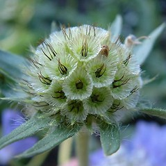 Fruits: Scabiosa columbaria. ~ By Louis-M. Landry. ~ Copyright © 2020 Louis-M. Landry. ~ LM.Landry[at]videotron.ca  ~ CalPhotos - calphotos.berkeley.edu/flora/