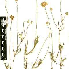 Plant form: Scabiosa ochroleuca. ~ By Botanic Garden and Botanical Museum Berlin-Dahlem. ~ Copyright © 2019 CC BY-SA. ~  ~ Botanic Garden and Botanical Museum Berlin-Dahlem - ww2.bgbm.org/Herbarium/default.cfm