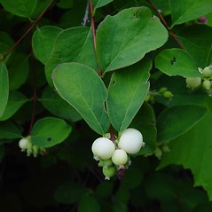 Fruits: Symphoricarpos albus. ~ By Arthur Haines. ~ Copyright © 2018. ~ arthurhaines[at]wildblue.net