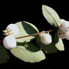 Fruits: Symphoricarpos albus. ~ By Marilee Lovit. ~ Copyright © 2019 Marilee Lovit. ~ lovitm[at]gmail.com