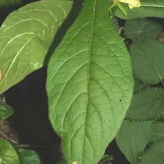 Leaves: Triosteum angustifolium. ~ By Steven Baskauf. ~ Copyright © 2017 CC-BY-NC-SA. ~  ~ Bioimages - www.cas.vanderbilt.edu/bioimages/frame.htm