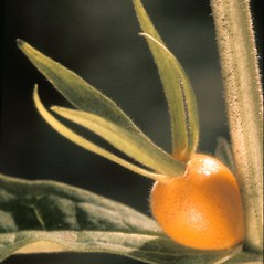 Fruits: Triosteum aurantiacum. ~ By Adelaide Pratt. ~ Copyright © 2018 New England Wild Flower Society. ~ Image Request, images[at]newenglandwild.org