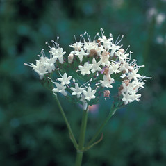 Flowers: Valeriana uliginosa. ~ By Frank Bramley. ~ Copyright © 2019 New England Wild Flower Society. ~ Image Request, images[at]newenglandwild.org