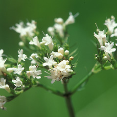 Flowers: Valeriana uliginosa. ~ By William Larkin. ~ Copyright © 2019 New England Wild Flower Society. ~ Image Request, images[at]newenglandwild.org