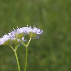 Flowers: Valerianella umbilicata. ~ By Steven Baskauf. ~ Copyright © 2019 CC-BY-NC-SA. ~  ~ Bioimages - www.cas.vanderbilt.edu/bioimages/frame.htm