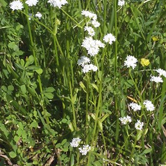Plant form: Valerianella umbilicata. ~ By Steven Baskauf. ~ Copyright © 2019 CC-BY-NC-SA. ~  ~ Bioimages - www.cas.vanderbilt.edu/bioimages/frame.htm