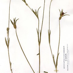 Plant form: Agrostemma githago. ~ By CONN Herbarium. ~ Copyright © 2017 CONN Herbarium. ~ Requests for image use not currently accepted by copyright holder ~ U. of Connecticut Herbarium - bgbaseserver.eeb.uconn.edu/