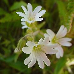 Flowers: Cerastium arvense. ~ By Glen Mittelhauser. ~ Copyright © 2019 Glen Mittelhauser. ~ www.mainenaturalhistory.org