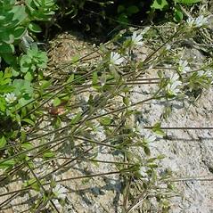 Plant form: Cerastium fontanum. ~ By Glen Mittelhauser. ~ Copyright © 2018 Glen Mittelhauser. ~ www.mainenaturalhistory.org