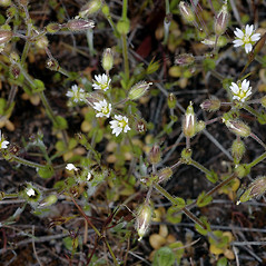 Plant form: Cerastium nutans. ~ By Gerry Carr. ~ Copyright © 2017 Gerry Carr. ~ gdcarr[at]comcast.net ~ Oregon Flora Image Project - www.botany.hawaii.edu/faculty/carr/ofp/ofp_index.htm