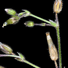Stems: Cerastium pumilum. ~ By Gerry Carr. ~ Copyright © 2019 Gerry Carr. ~ gdcarr[at]comcast.net ~ Oregon Flora Image Project - www.botany.hawaii.edu/faculty/carr/ofp/ofp_index.htm