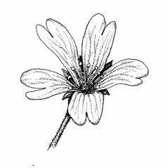 Flowers: Cerastium strictum. ~ By Elizabeth Farnsworth. ~ Copyright © 2018 New England Wild Flower Society. ~ Image Request, images[at]newenglandwild.org