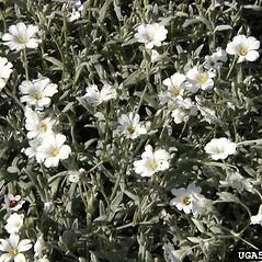Plant form: Cerastium tomentosum. ~ By Dow Gardens. ~ Copyright © 2018 CC BY-NC 3.0. ~  ~ Bugwood - www.bugwood.org/