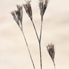 Fruits: Dianthus armeria. ~ By Arieh Tal. ~ Copyright © 2018 Arieh Tal. ~ http://botphoto.com/ ~ Arieh Tal - botphoto.com