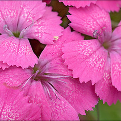 Flowers: Dianthus carthusianorum. ~ By Amadej Trnkoczy. ~ Copyright © 2020 Amadej Trnkoczy. ~ amadej.trnkoczy[at]siol.net ~ CalPhotos - calphotos.berkeley.edu/flora/